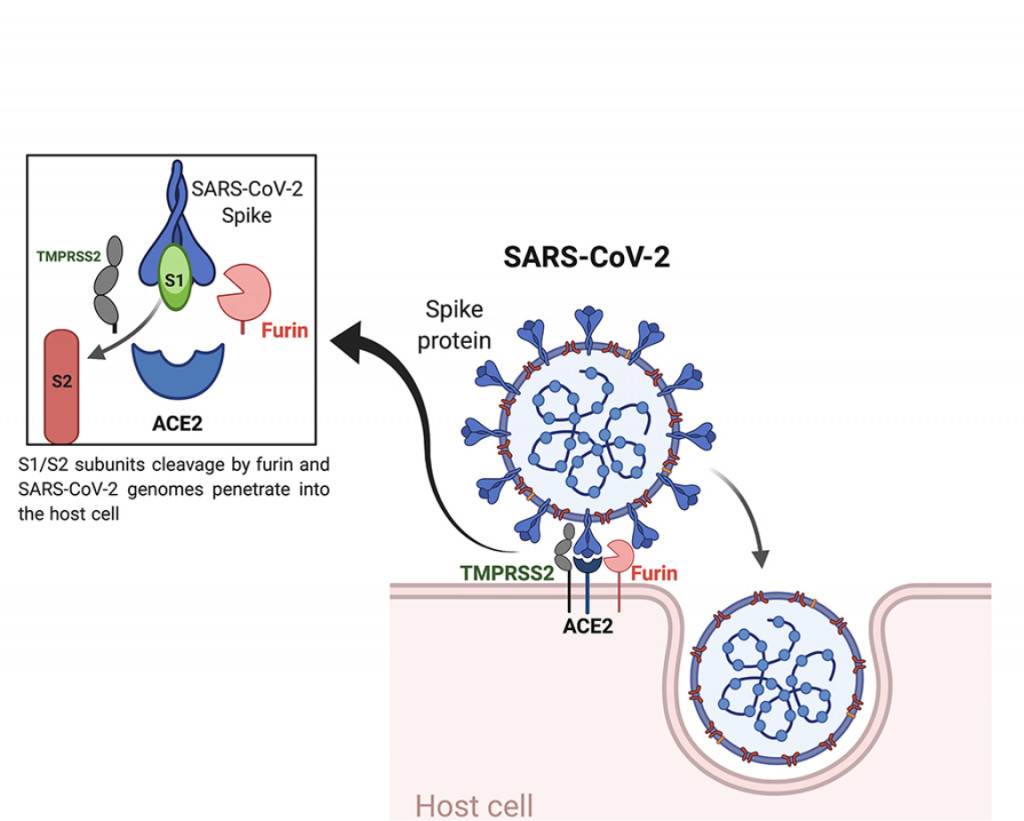 Wirkung von CBD auf COVID-19-Leiden | Die Studienlage 2