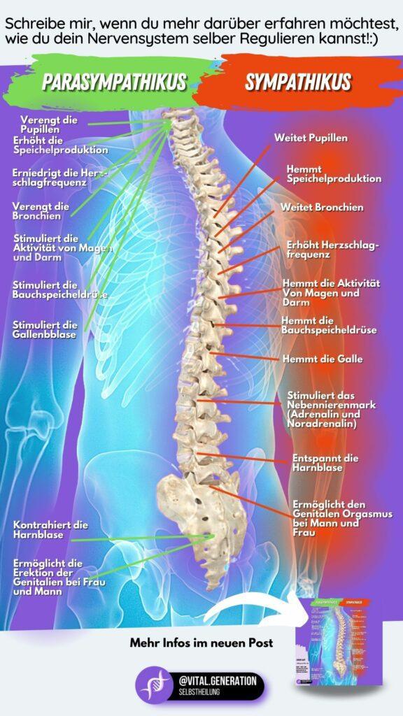 Dein Nervensystem: Werde vitaler und sozialer mithilfe der Polyvagaltheorie 3